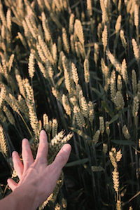 Hand_in_wheat